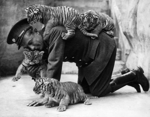 glukauf:  Eight week old tiger cubs belonging to Ranee, a tiger ar Whipsnade zoo, find that their keeper is very useful as a climbing post, 7th July 1937.