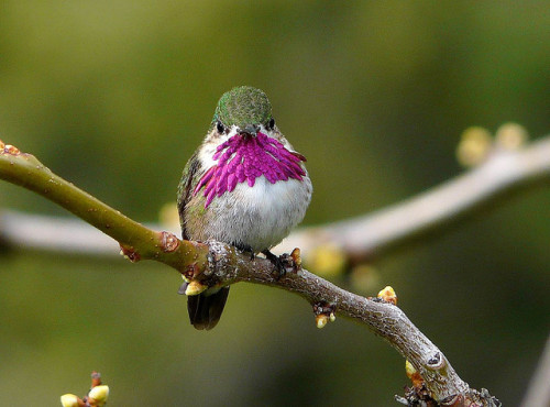 rhamphotheca:  fairy-wren:  calliope hummingbird (photo by mikewiz)