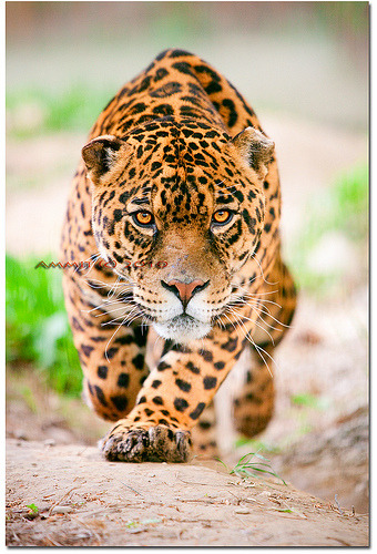 funkysafari:  Hunting Jaguar by Ammit J