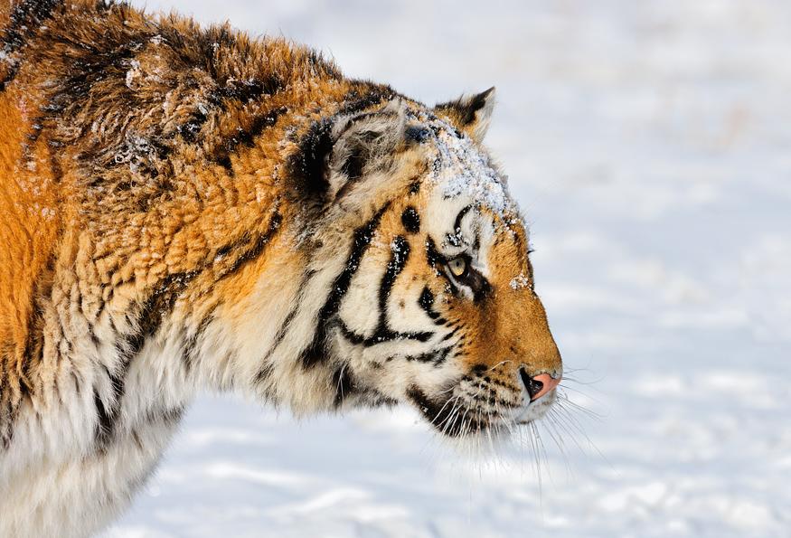 Siberian Tiger(Panthera tigris altaica)  image by Marsel van Oosten