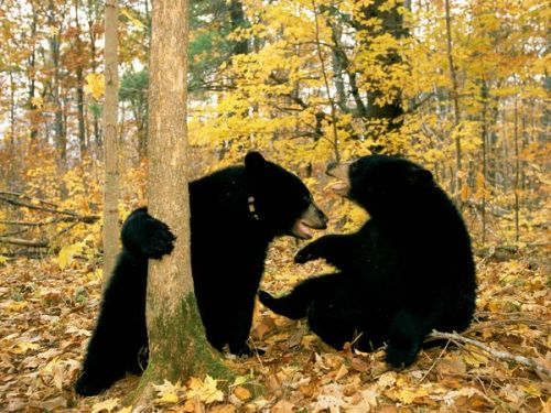 iwantabetterworldforanimals:  2 black bears playing. Please follow me.