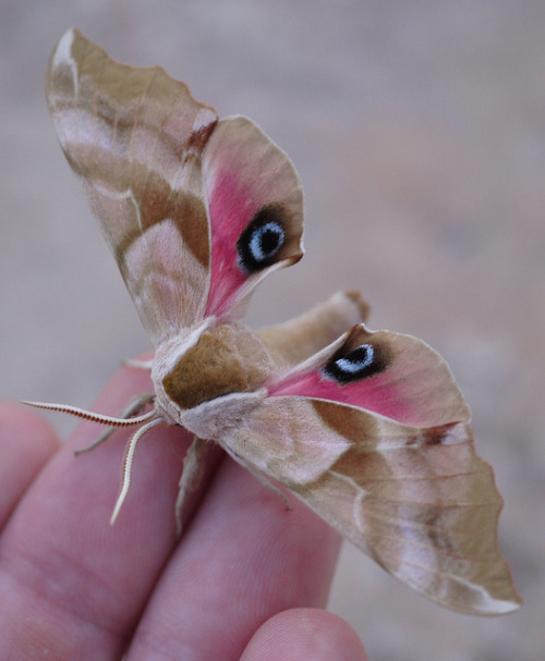 the-moth-princess:  Smerinthus cerisyi of Sphingidae. When alarmed, resting adults exhibit a very striking defense mechanism: the body is hunched and the wings are flicked upwards to display a pair of glaring 'eyes', one on each side of the abdomen (which seems to resemble a beak at the presented angle). Following more disturbance a more dramatic scare tactic is used; this startling 'face' is further enhanced by repeated lowering and raising of the forewings, causing a blinking effect to the 'eyes'.
