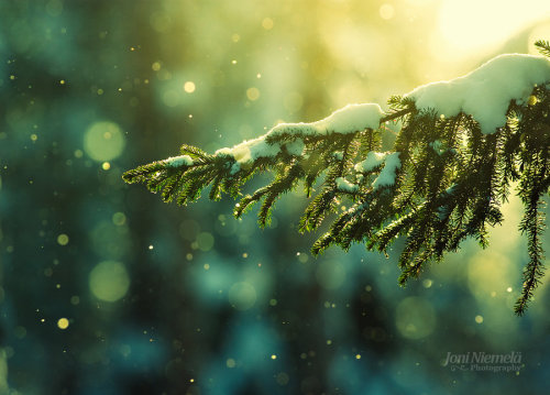 mykindafairytalee:  Pine Needles In The Snowfall by ~Nitrok