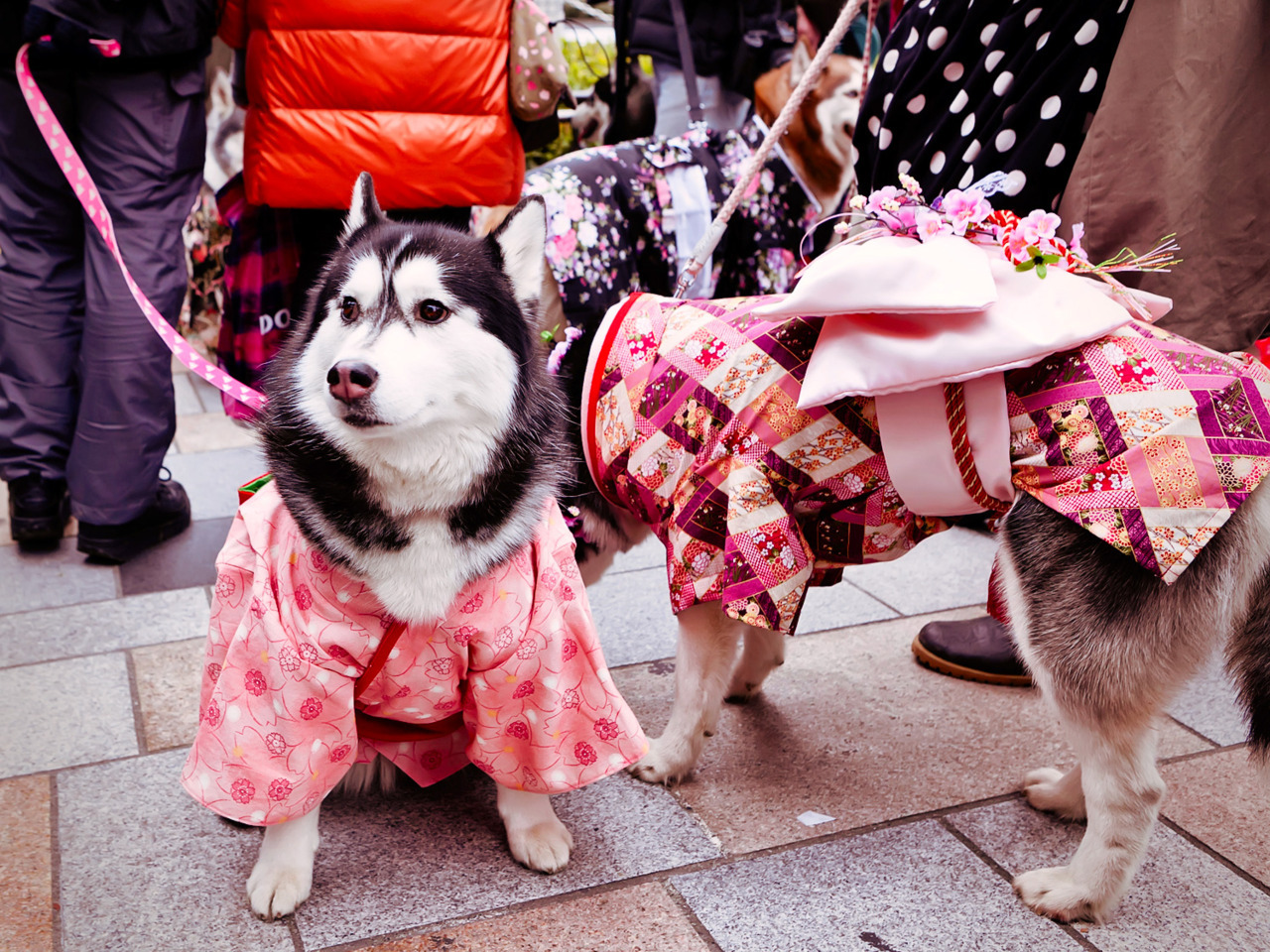 Two cute dogs in kimono on the street in Harajuku.