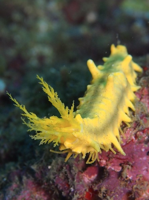 rhamphotheca:  mad-as-a-marine-biologist: Robust Sea Cucumber (Colochirus robustus)  (photo by Samantha Craven)