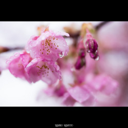 Early Blossoming Cherry on Flickr.There is a beautiful early-blossoming cherry tree in Saigoyama Park in Meguro Ward, Tokyo. I saw it in full bloom on February 27 last year. I visited the park again today, and the flowers were just starting to blooming. They were late more than three weeks because of the cold temperature we had in February. Camera: Panasonic Lumix DMC-GH2 Lens: Voigtländer Cosina Nokton 25mm f/0.95