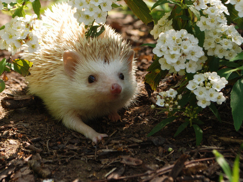 emilianadarling:  lokithehedgehog:  A very pretty hedgehog!  Oh, it looks like Jawn is having a nice stroll through the garden.