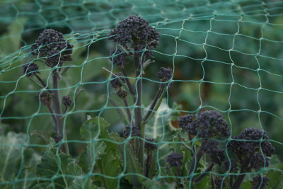 13.03.2012: Purple sprouting broccoli ready to pick