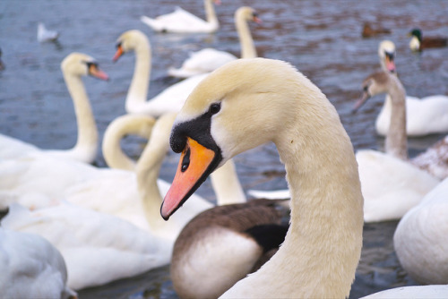 Swan on the Thames, Windsor on Flickr.