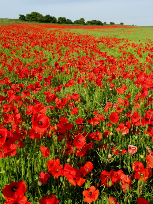 deification:  Poppies