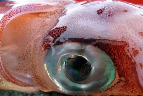 Ever wonder why giant squids have eyes the size of basketballs? The better to see their predators with.