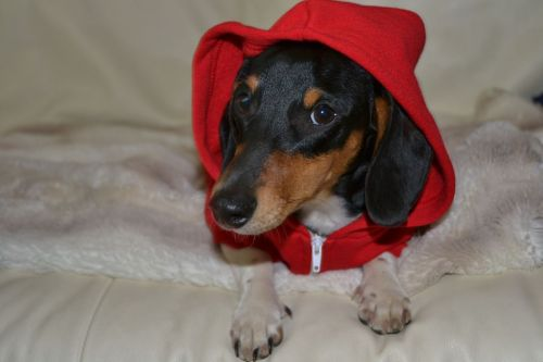 ilovedachshunds:  mac in his american apparel hoodie - Submitted by trateeme
