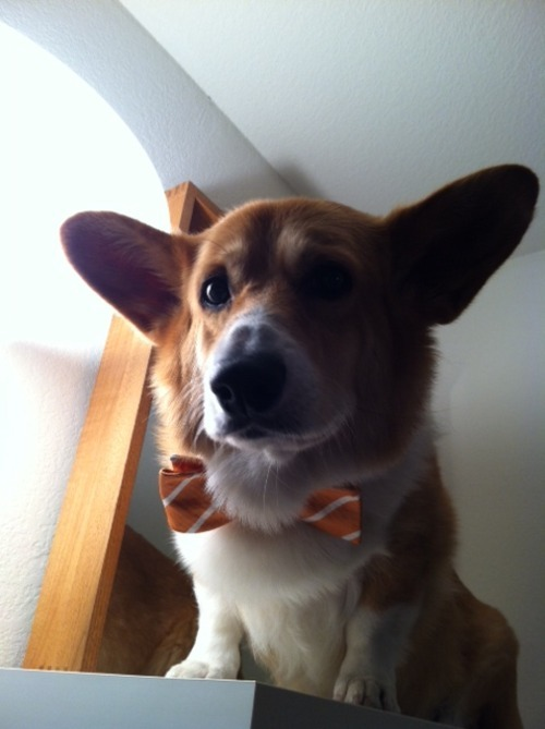 Wilson, the Corgi in orange bow-tieSubmitted by janeskang