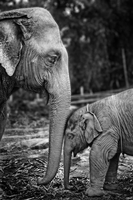 nonsensecharlotte:  love love love elephants <3