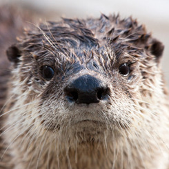 redscharlach:  Otters Who Look Like Benedict Cumberbatch: A Visual Examination.All otters are from The Daily Otter, for all your ottery Tumblr needs!