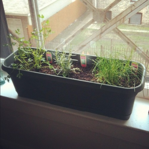 Planted some herbs this weekend. Don't they look cute in the windowsill? (Taken with instagram)