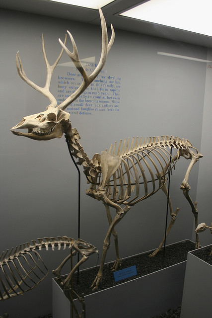 naturepunk:  Mule deer skeleton by PIWO