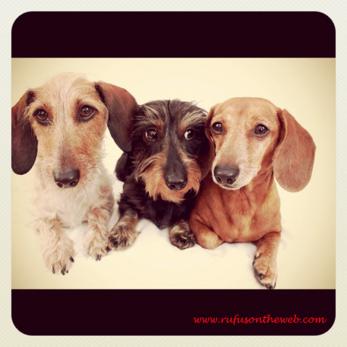 rufusontheweb:  Today it's all about the wirehairs! Photo by: Johnny Ortez-Tibbels