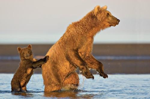 funnywildlife:  Brown Bears Fishing!!This cub was constantly running to keep up with its mother as she fished. It tried everything that she did. When she stood up to scout the river for salmon, the little bear stood up too, using his mom for support.by Tom Savage