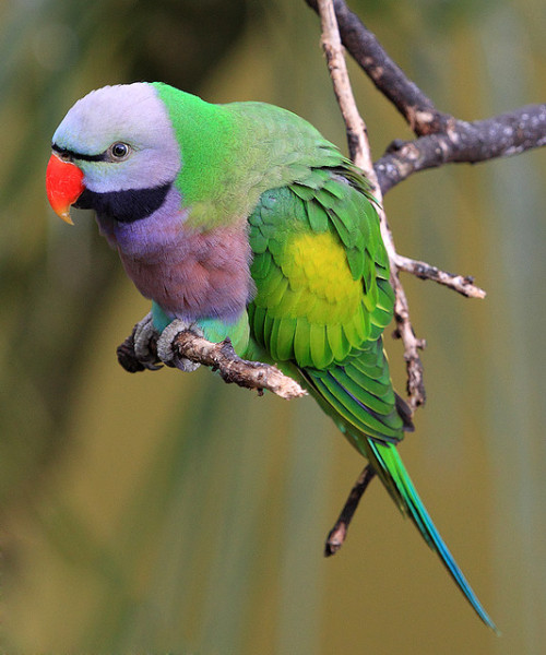 birdblog:  Lord Derby's Parakeet by dcysurfer / Dave Young on Flickr.  Oh gosh it's too cute.