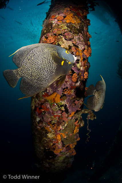 Fish found in Bonaire, by underwater photographer Todd Winner Brought to you by Underwater Photography Guide, the best online resource for divers and underwater photographers.