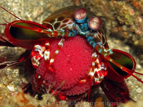 """I Love My Eggs"" Peacock shrimp photographed by Martina Gambirasi, 2nd place in the ""Compact Macro"" category of our Ocean Art Contest. See all of the wonderful winning photos at the Underwater Photography Guide"