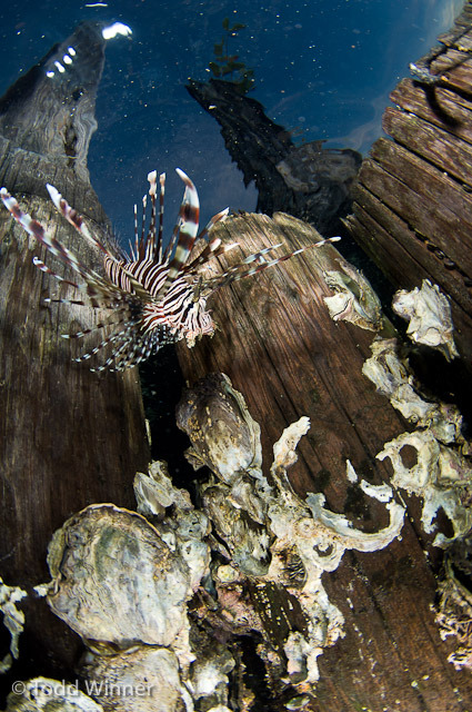 Lionfish in the Solomon Islands, by Todd Winner Brought to you by Underwater Photography Guide, the best online resource for divers and underwater photographers.