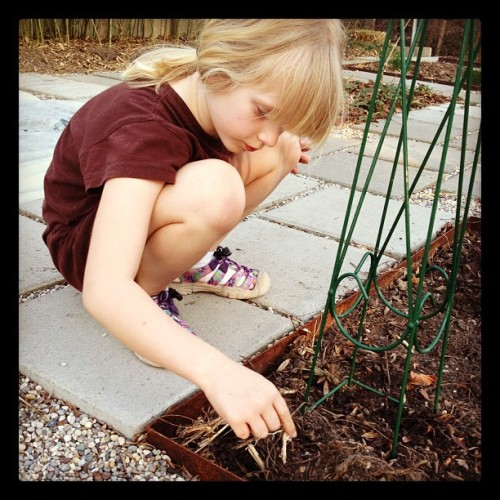 Planting peas, please. And carrots & beets. #gardening #kids #march #spring #realfood