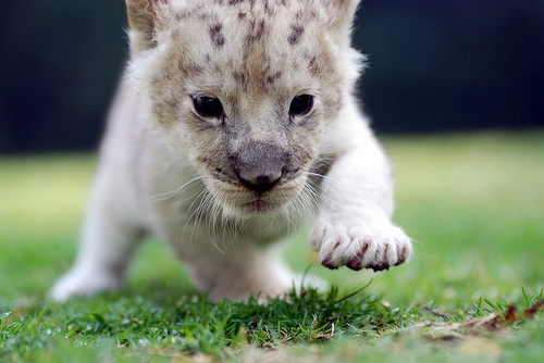furples:  Lion (byfloridapfe)