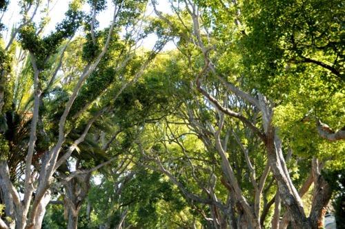 Camphor Tree canopy