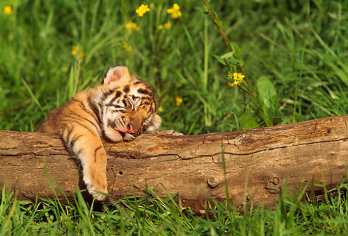 Four Month Old Tiger Cub Taking a Nap - Imgur