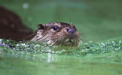 llbwwb:  Otter takes a swim Photo by Nick Fornit