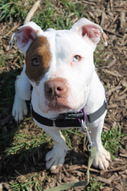 fuckyeahpitbullterriers:  This is Jolie! Please get your pitbulls spayed/neutered to stop pitbull euthanasia in shelters!