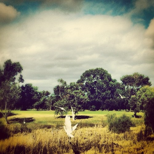 aboutsurvival:  Run Into Birds Pt.2 #Nature #Birds #Golf #westernaustralia #Ibis (Taken with Instagram at All Seasons Sanctuary Golf Resort)