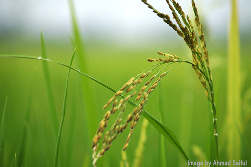 Paddy by Ahmad 'Cipoi' Saiful on Flickr.Paddy