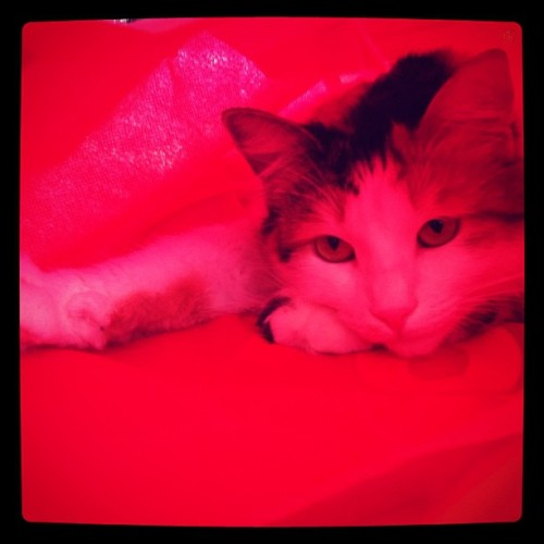My little Bastet, in a red bag. #cats (Taken with instagram)