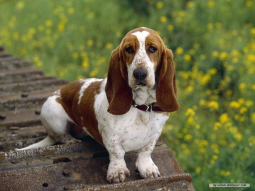 I want a Basset Hound dog =)