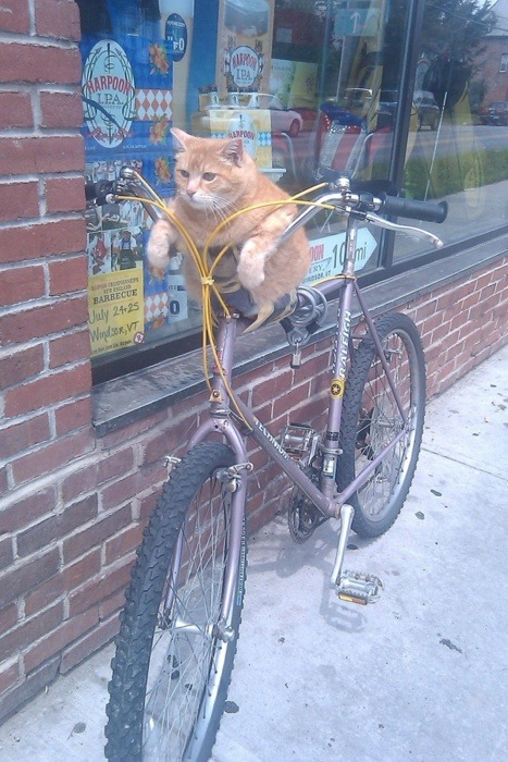 itsmandalina:  courtneybeth:  OMG  … this is a cat on a bike in Vermont, and it was on my dash because someone i follow from AUSTRALIA reblogged it. what even.  hahaha. it's just a guy with a really cool, fat cat. but it's so awesome. ps I live right down the block from this photo