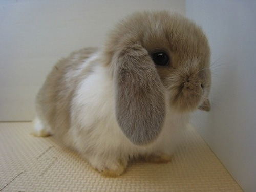 turbulenced:  huose:  wetrytugyhjkm i died   I want a bunny now  I just made the most unholy, awful noise.  I want it in my life. This adorable little bunbun. It will be my babby and I will love it forever.