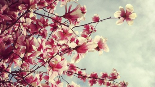 It's Cherry Blossom season! View photos of the pink buds here. Submit your photos of the blossoming trees to readers@nationaljournal.com.