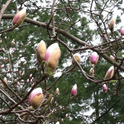 Everything is blooming so early this year. The Magnolias are a good month ahead of time.  (Taken with instagram)