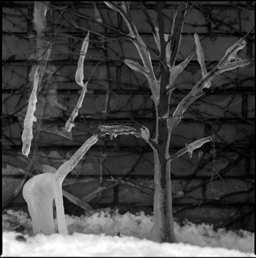 The Ice Giraffe February, 2008 Hasselblad 503cx, Fuji Neopan Acros 100, D76