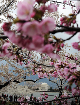 Cherry Blossoms, these flowers have been in this country for almost 100 years.