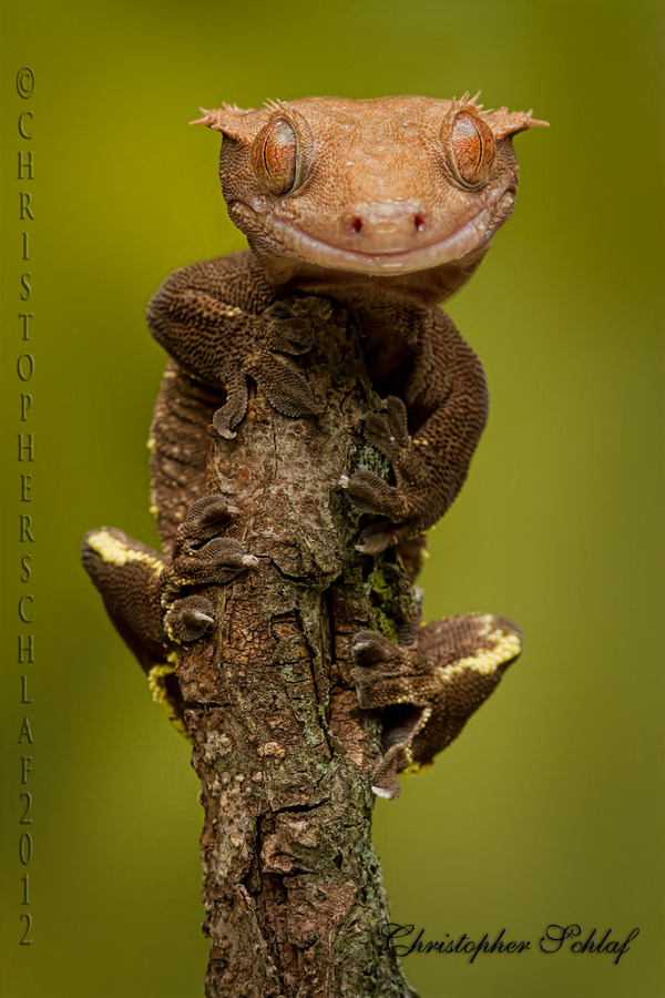 "magicalnaturetour:  Photo ""Mr Gecko"" by CHRISTOPHER SCHLAF :)"