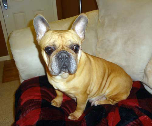 Imogene is the sweetest Frenchie and reminds us of the importance of enjoying the simple things in life. She thinks it's swell to be able to lounge the day away on the couch or take a slow stroll around the block and admire the neighbor's roses. After growing up in a puppy mill and having litter after litter of pups, this girl has learned to revel in the simple comforts of a clean couch cushion and a warm lap to snuggle on. Click on her photo for more information and to adopt.