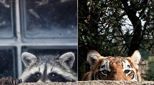 Who has the cuter Peek-a-boo? Raccoon or Tiger?