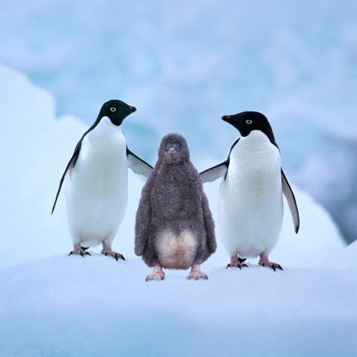 fairy-wren:  adelie penguins (photo via the telegraph)