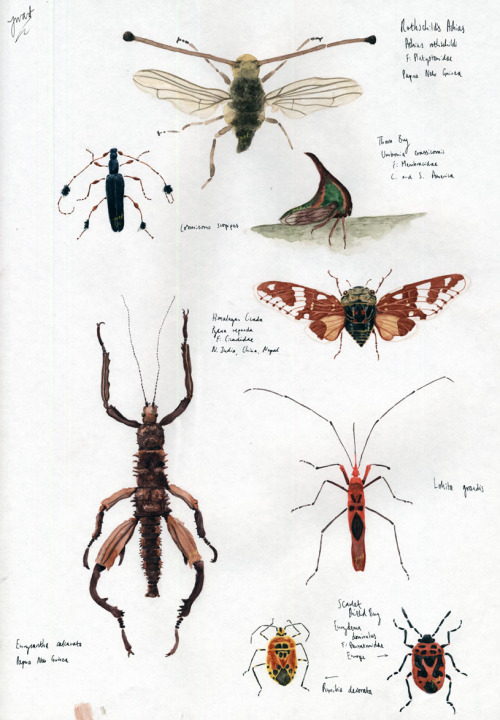 Another A3 sheet of insects. Kinda time I did something with these, so shall be spending loads of time in front of the screen editing and compiling. Favourites are the Cicada (middle, red and white wings) and the Thorn Bug above. Seems my favourites are always the most difficult to do (fiddly bastard wings… layering… layering… LAYERING). (Copyright is mine)