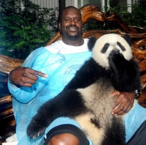 "IT'S SHAQ WEDNESDAY!!! There was a period when Shaq spearheaded a panda breeding program.  Every day he put on a surgical gown and tried to come up with an answer that would save these beautiful animals.  The photo above shows the moment when Shaq thought to himself, ""Fine, I'll just do it myself"". The female panda can literally feel Shaq's ""plan"" poking here in the back."