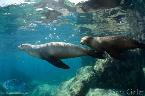 Sea lions in La Paz, Mexico Brought to you by Underwater Photography Guide, the best online resource for divers and underwater photographers.